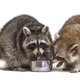 Two raccoons eating from a dog bowl - PhotoDune Item for Sale