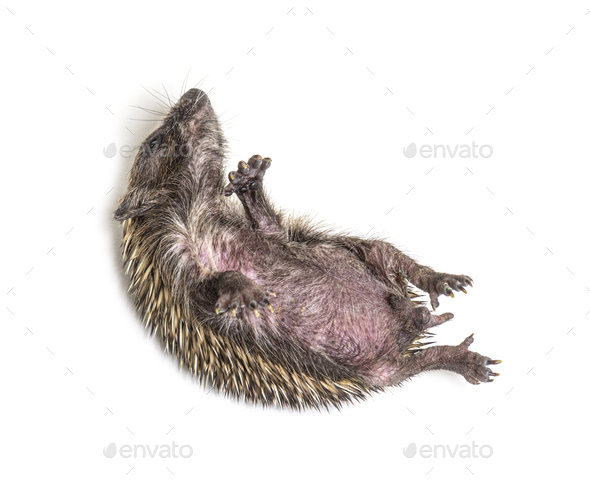Sick Young European hedgehog in distress, on its back - Stock Photo - Images
