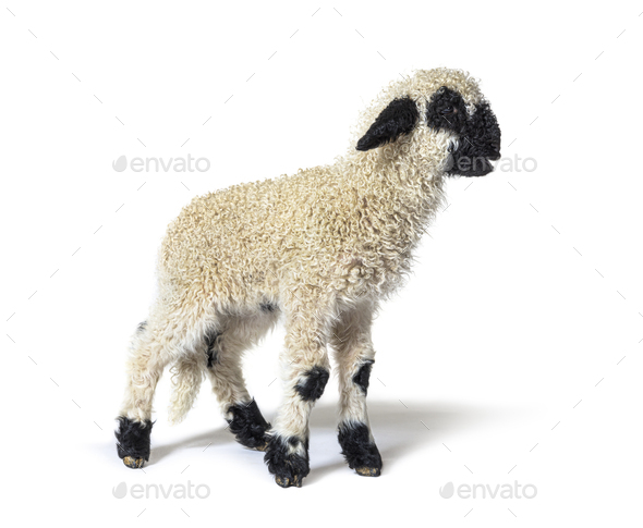 Profile of a lovely Lamb Valais Blacknose sheep three weeks old - Stock Photo - Images