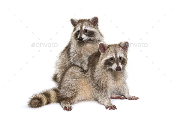 Two red raccoons sitting together, isolated on white - Stock Photo - Images