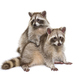 Two red raccoons sitting together, isolated on white - PhotoDune Item for Sale