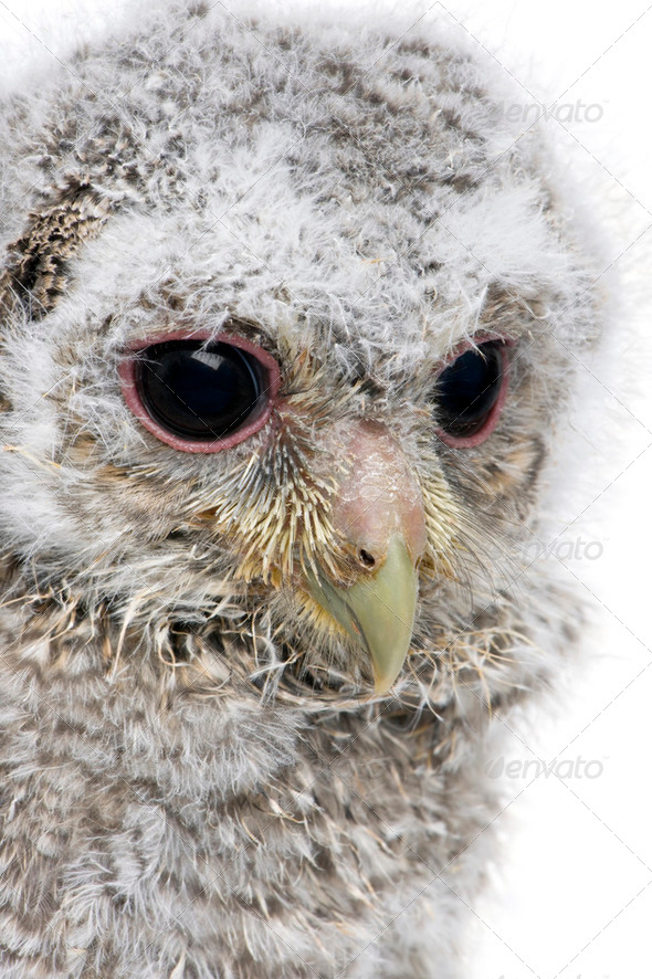 close-up of an owlet's head - Athene noctua (4 weeks old) - Stock Photo - Images