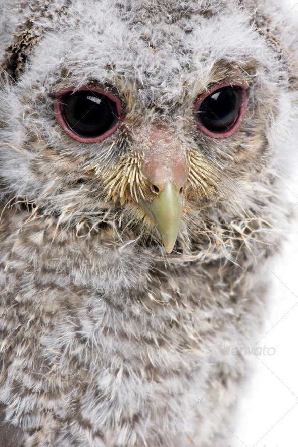 Close-up of Baby Little Owl, 4 weeks old, Athene noctua, in front of a white background - Stock Photo - Images
