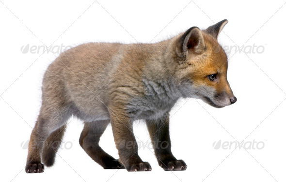 Red Fox Cub, Vulpes vulpes, 6 weeks old, standing, studio shot - Stock Photo - Images