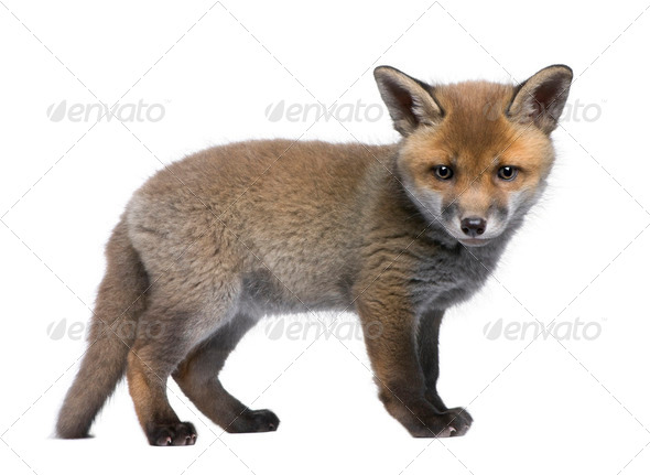 Red fox cub, Vulpes vulpes, 6 weeks old, standing in front of white background, studio shot - Stock Photo - Images