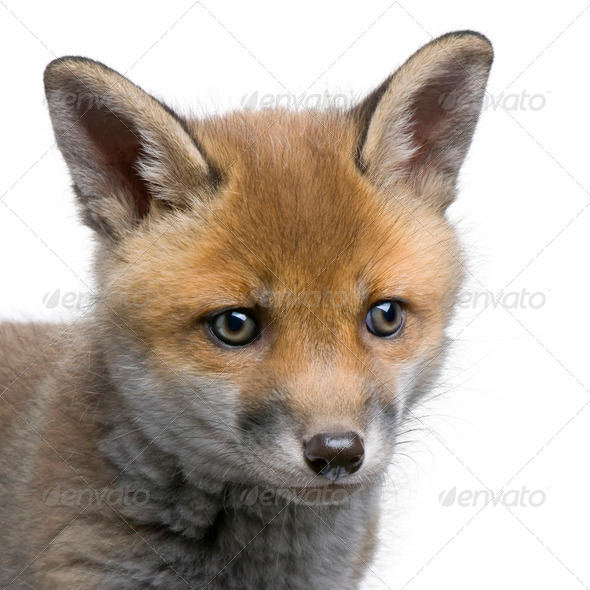 close-up of a Red fox cub's head (6 Weeks old)- Vulpes vulpes - Stock Photo - Images