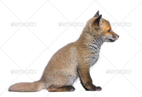 side view of a Red fox cub (6 Weeks old)- Vulpes vulpes - Stock Photo - Images