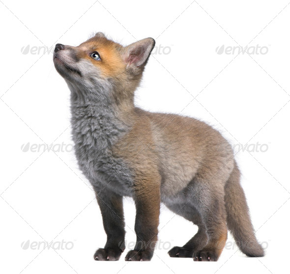 Red fox cub looking up (6 Weeks old)- Vulpes vulpes - Stock Photo - Images