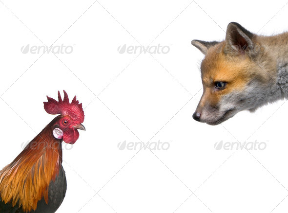 Red fox cub looking at rooster in front of white background, studio shot - Stock Photo - Images