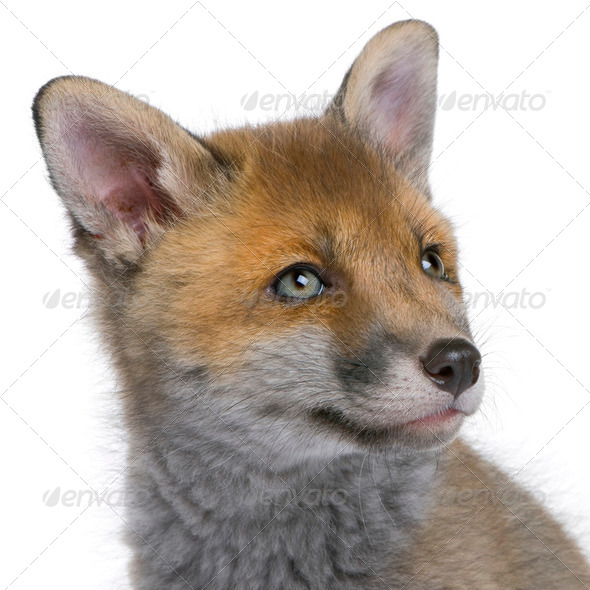 Red fox cub (6 Weeks old)- Vulpes vulpes - Stock Photo - Images