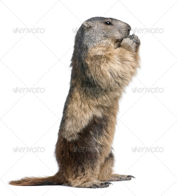 Alpine Marmot - Marmota marmota (4 years old) - Stock Photo - Images