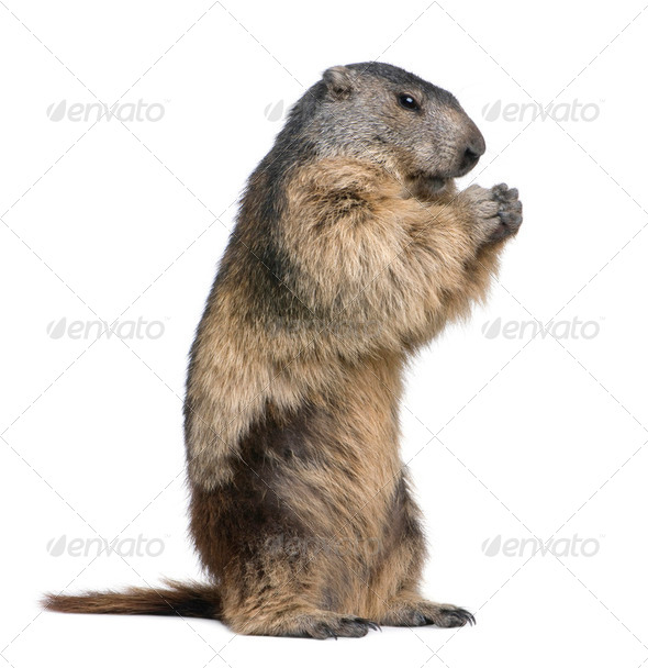 Alpine Marmot - Marmota marmota (4 years old) - Stock Photo - Images