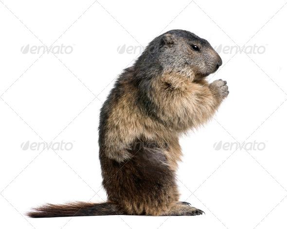 Alpine Marmot, Marmota marmota, 4 years old, sitting in front of white background, studio shot - Stock Photo - Images