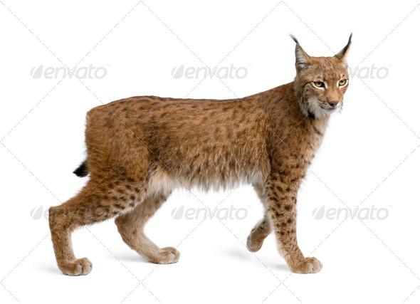 Eurasian Lynx, lynx lynx, 5 years old, standing, studio shot - Stock Photo - Images