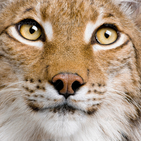 Close-up of Eurasian Lynx, lynx lynx, 5 years old, studio shot - Stock Photo - Images