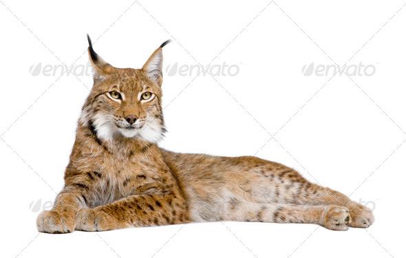 Eurasian Lynx - Lynx lynx (5 years old) - Stock Photo - Images