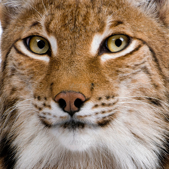 Close-up of Eurasian Lynx, Lynx lynx, 5 years old - Stock Photo - Images