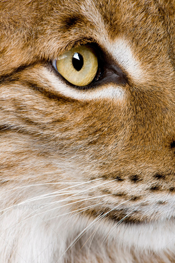 Eurasian Lynx - Lynx lynx (5 years old) - Stock Photo - Images
