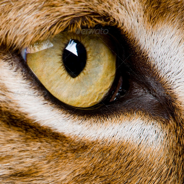 close-up on a feline' eye - Eurasian Lynx - Lynx lynx (5 years o - Stock Photo - Images