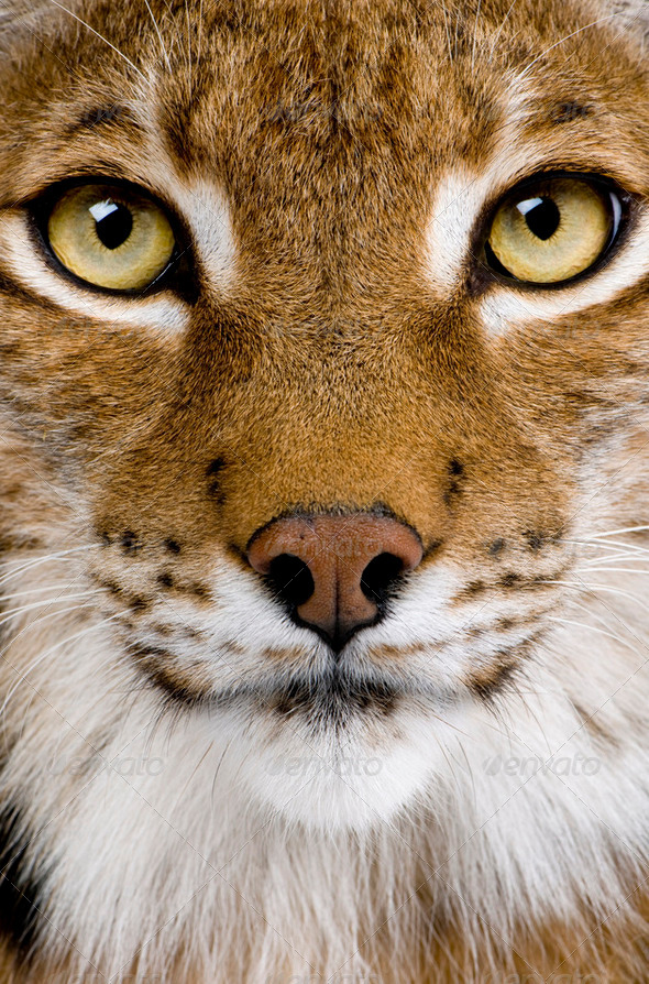 Close-up of a Eurasian Lynx's head - Lynx lynx (5 years old) - Stock Photo - Images