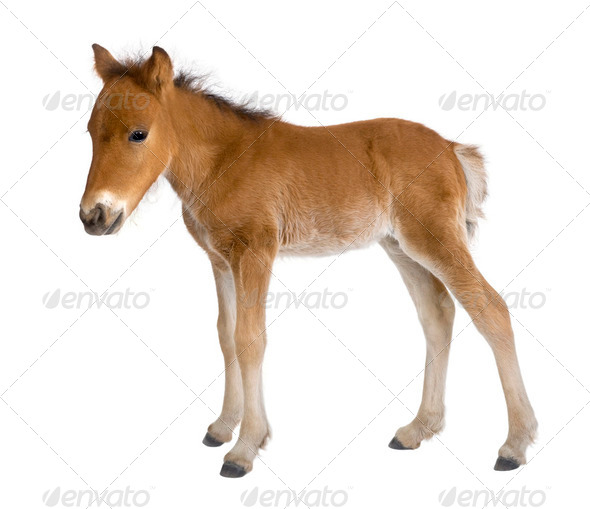 Foal (4 weeks old) - Stock Photo - Images