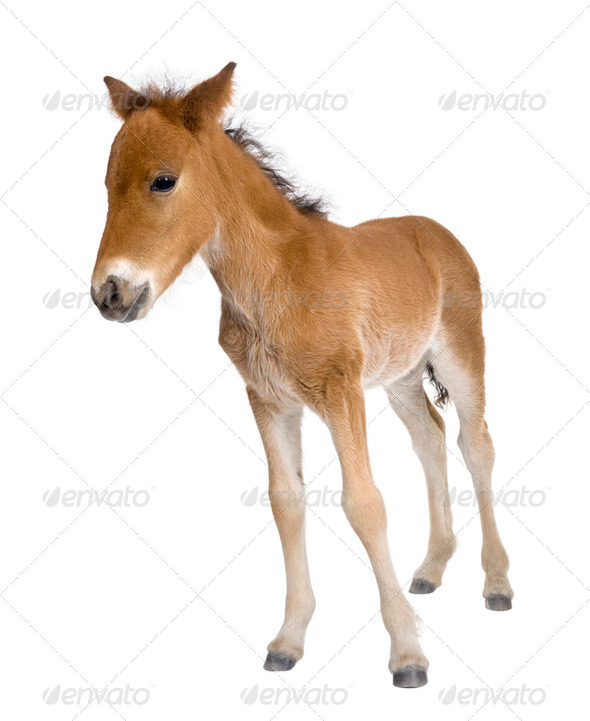 Portrait of foal, 4 weeks old, standing in front of white background, studio shot - Stock Photo - Images