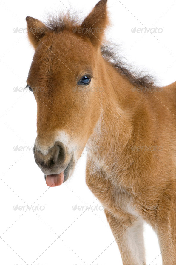 close-up of a Foal's head sticking his tongue out  (4 weeks old) - Stock Photo - Images