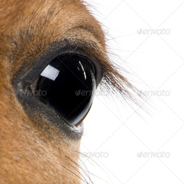 Close-up of Foal's eye, 4 weeks old, in front of white background, studio shot - Stock Photo - Images
