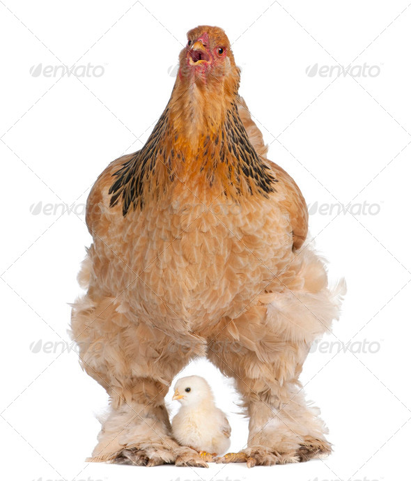 Brown Brahma Hen and her chick - Stock Photo - Images