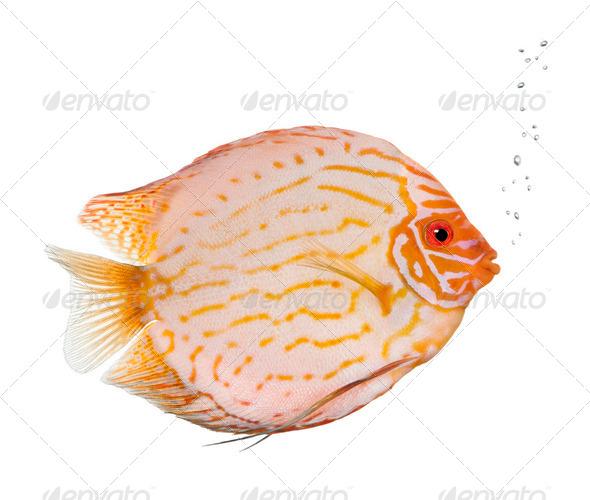 Pigeon Blood Discus fish, Symphysodon aequifasciatus, studio shot - Stock Photo - Images