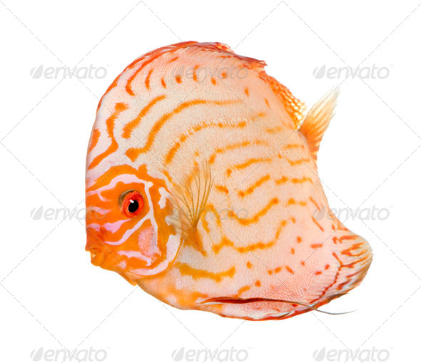 Pigeon Blood Discus (fish) - Symphysodon aequifasciatus - Stock Photo - Images