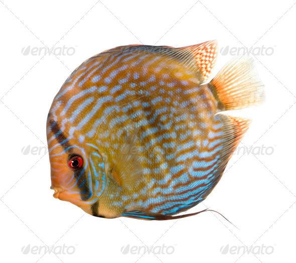 Red Turquoise Discus fish, Symphysodon aequifasciatus, studio shot - Stock Photo - Images
