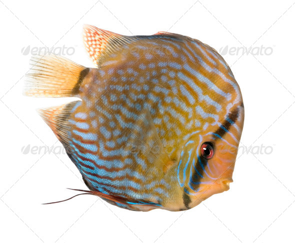 Red Turquoise Discus (fish) - Symphysodon aequifasciatus - Stock Photo - Images
