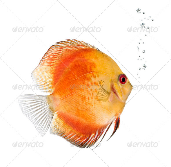Fire Red Discus fish, Symphysodon aequifasciatus,  studio shot - Stock Photo - Images