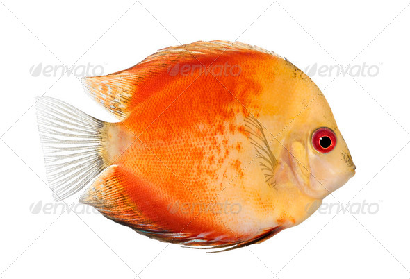 Fire Red Discus (fish) - Symphysodon aequifasciatus - Stock Photo - Images