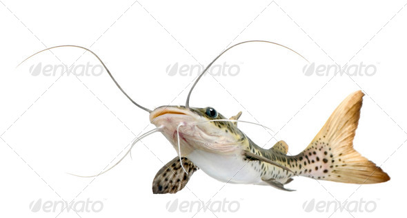 Catfish - Pseudoplatystoma fasciatum - Stock Photo - Images