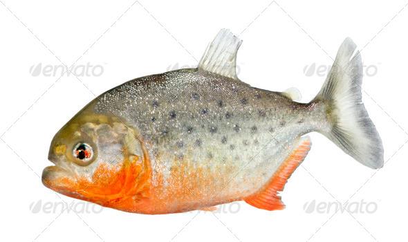 Piranha - Serrasalmus nattereri - Stock Photo - Images