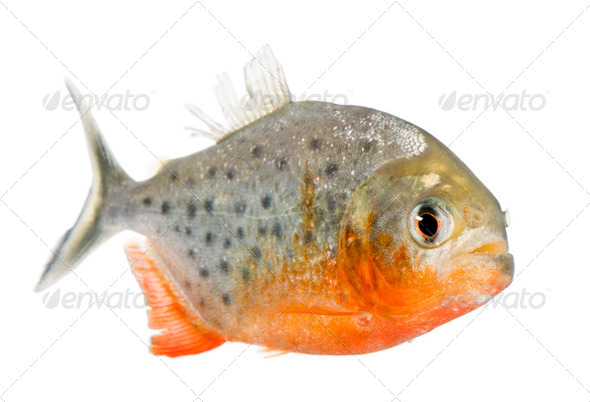 Piranha - Serrasalmus nattereri - Stock Photo - Images