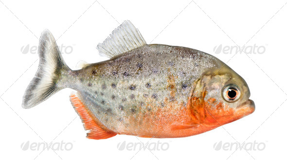 side view on a Piranha fish - Serrasalmus nattereri - Stock Photo - Images