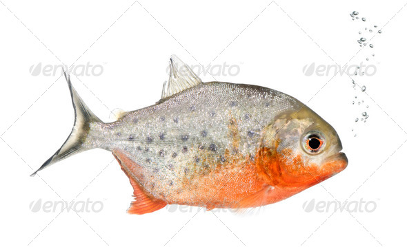 Piranha, Serrasalmus nattereri, studio shot - Stock Photo - Images