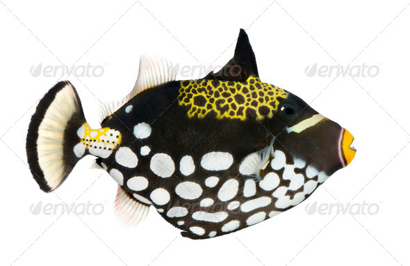 Clown triggerfish - Balistoides conspicillum - Stock Photo - Images