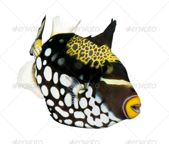 Clown triggerfish (fish) - Balistoides conspicillum - Stock Photo - Images
