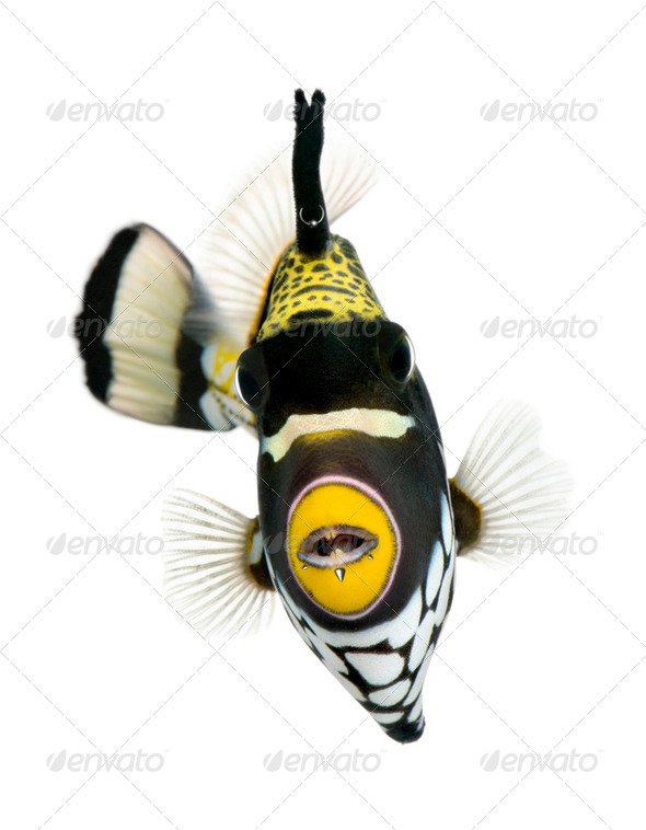 Clown triggerfish, Balistoides conspicillum, swimming against white background, studio shot - Stock Photo - Images