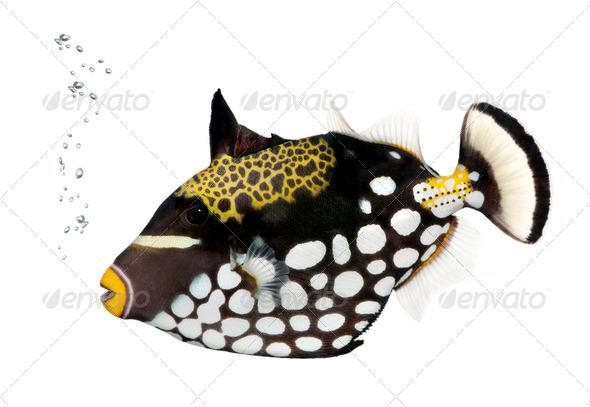 Clown triggerfish, Balistoides Conspicillum, studio shot - Stock Photo - Images