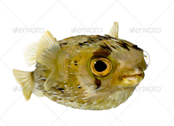 Long-spine porcupinefish also know as spiny balloonfish (fish) - Diodon - Stock Photo - Images