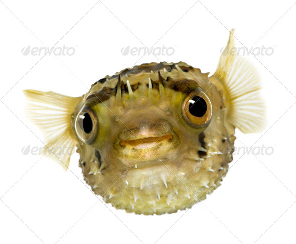 Long-spine porcupinefish also know as spiny balloonfish - Diodon - Stock Photo - Images
