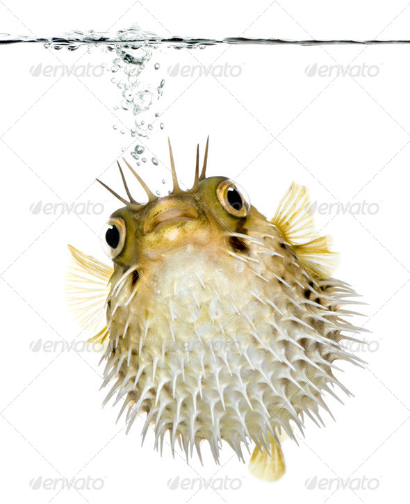 Long-spine porcupinefish (fish) swimming below the waterline - Stock Photo - Images