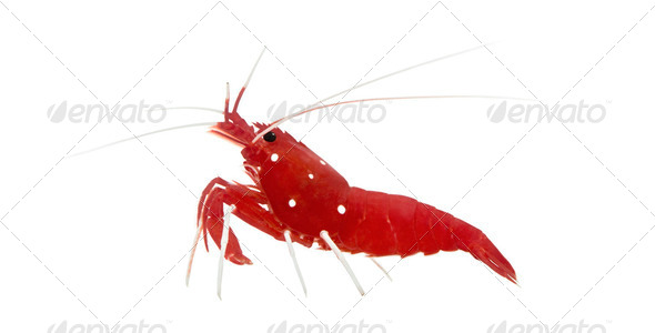Fire Shrimp - Lysmata debelius - Stock Photo - Images