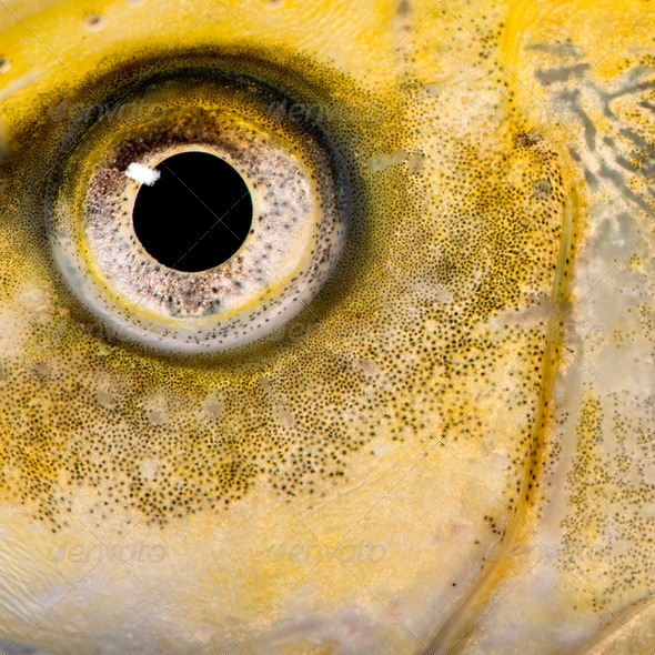 close-up on the eye of a yellow fish - Stock Photo - Images