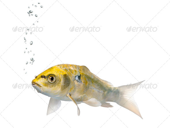 Yellow Koi ogon fish, Cyprinus Carpio, studio shot - Stock Photo - Images